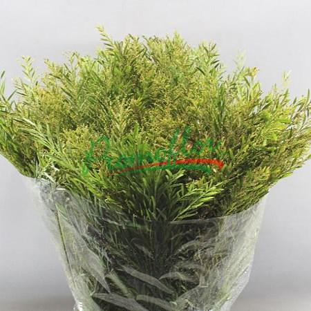 Acacia Howittii (Chiaro di Luna) Green