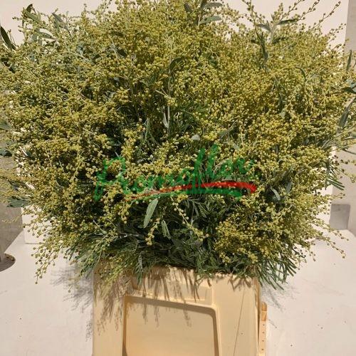 Acacia Hanburiana