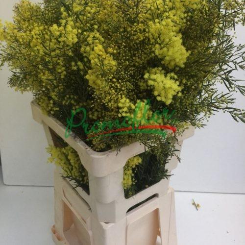 Acacia Howittii (Chiaro di Luna)