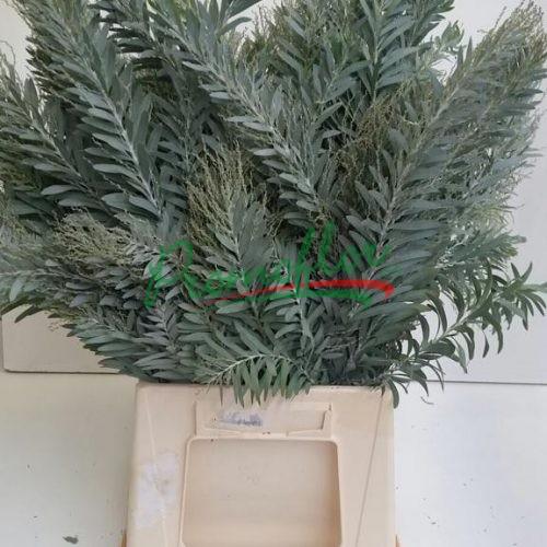 Acacia Podalyriifolia Luna d' Argento