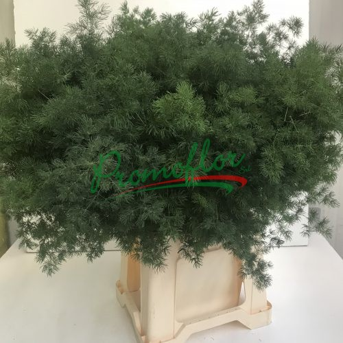 Asparagus Aethiopicus ' Myriocladus'