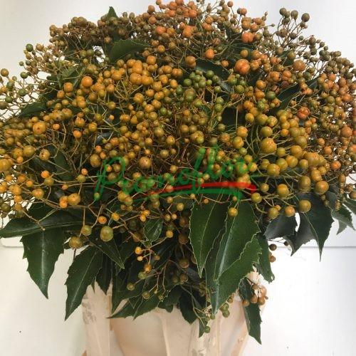 Auranticarpa Rhombifolia (Pittosporum)