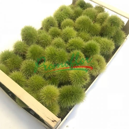 Castanea Sativa Box