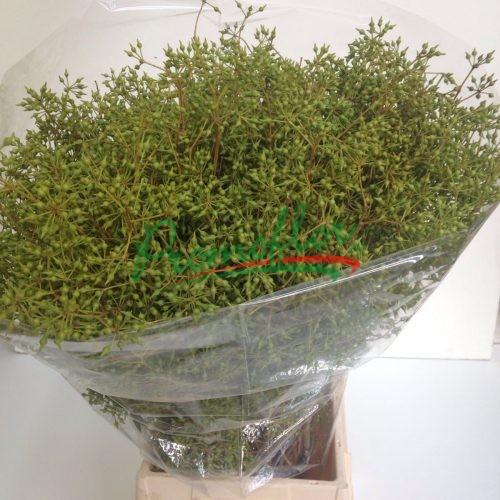 Eucalyptus Esotica