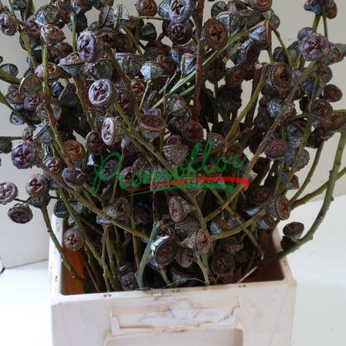 Eucalyptus Globulus Old Berries