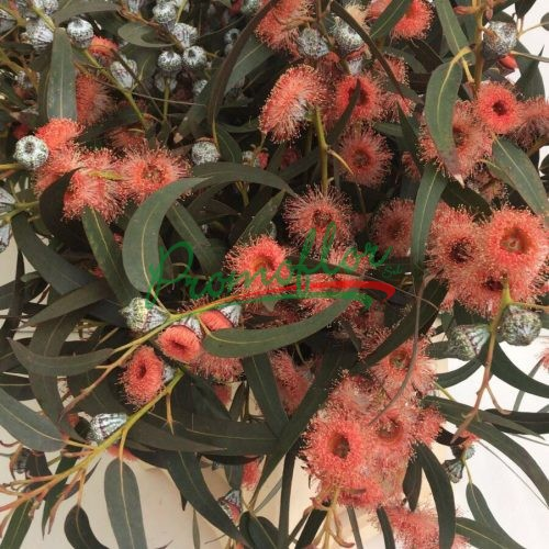 Eucalyptus Globulus Red Absorbed