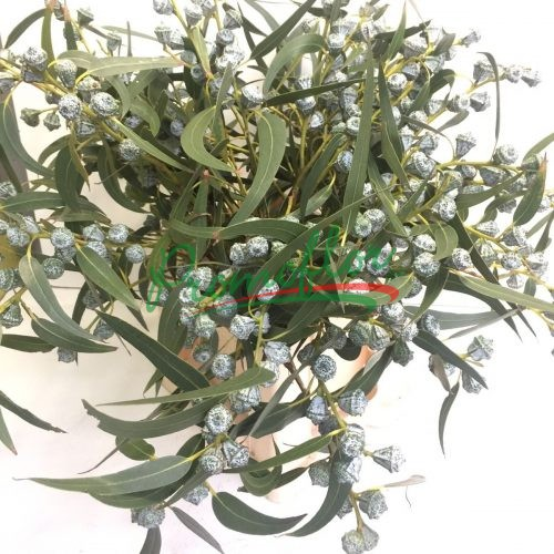 Eucalyptus Globulus with leaves