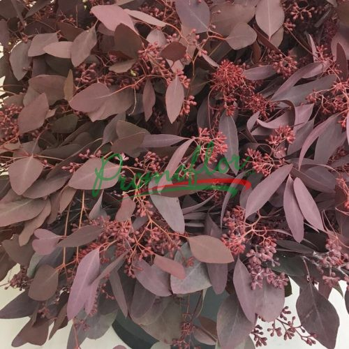 Eucalyptus Populifolia Berries Red Absorbed