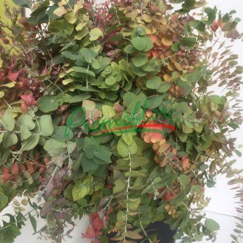 Eucalyptus Stuartiana Autumn