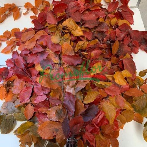 Fagus Autumn Preserved