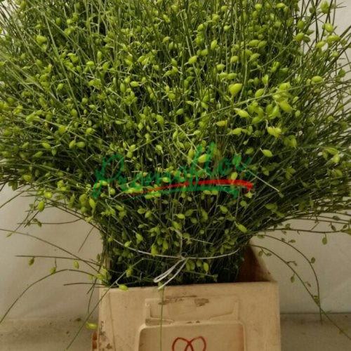 Genisteae berries Green