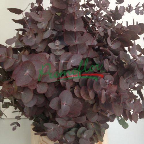 Eucalyptus Cinerea Red Absorbed