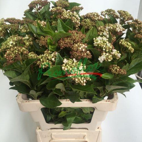 Viburnum Tinus Macrophyllum