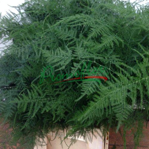 Asparagus Setaceus Plumosus