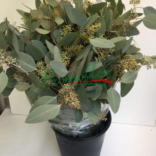 Eucalyptus Populifolia Berries
