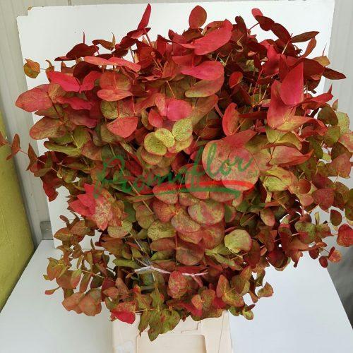 Eucalyptus Cinerea Autumn
