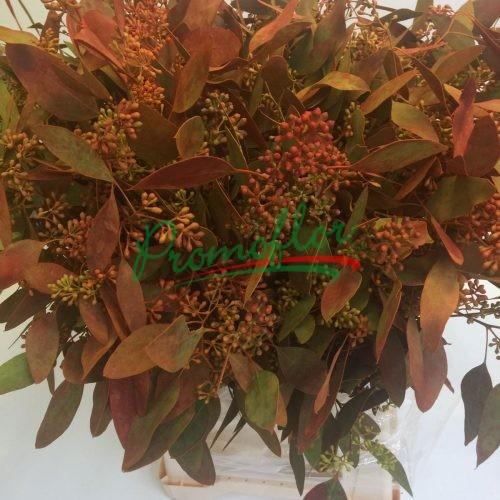 Eucalyptus Populifolia Berries Autumn