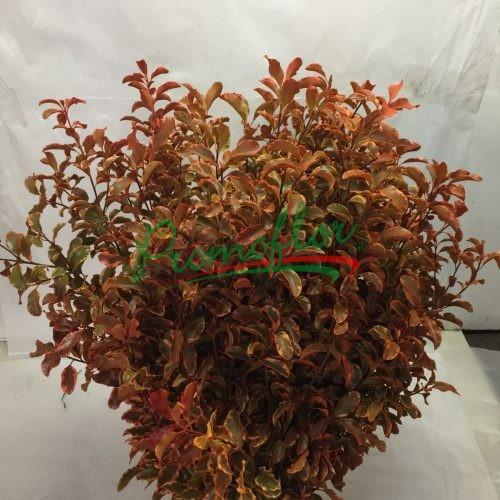 Pittosporum Tenuifolium Painted