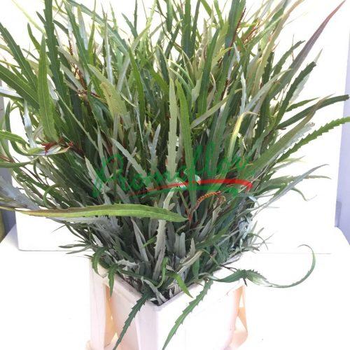 Grevillea Aspleniifolia