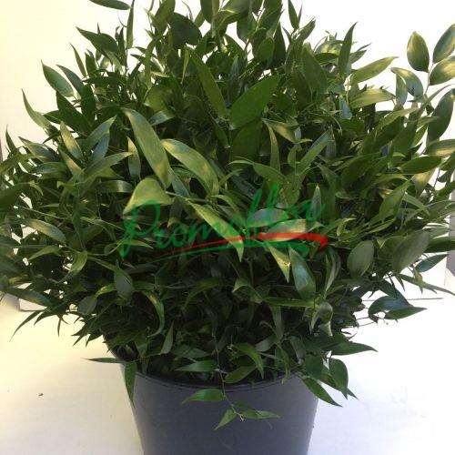 Danae Racemosa (Ruscus)