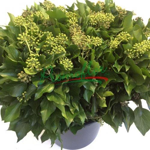 Hedera Helix Green Berries