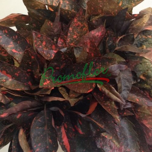 Aucuba Japonica Red Absorbed