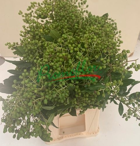 Photinia Heteromelis (green)