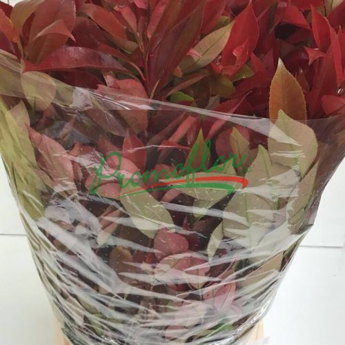 Photinia x fraseri 'Red Robin' (leaves)