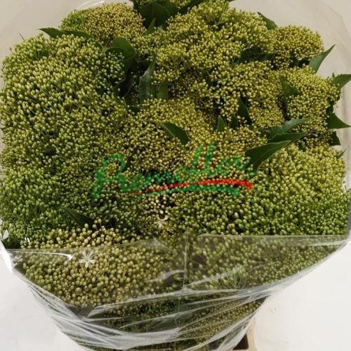 Pittosporum Rhombifolia Green (Auranticarpa)