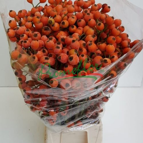 Rosa Canina Fruttuosa