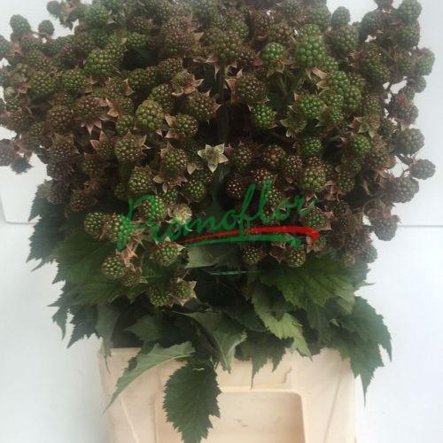 Rubus Ulmifolius (Green)