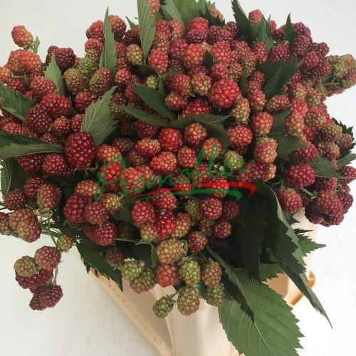 Rubus Ulmifolius (Red)