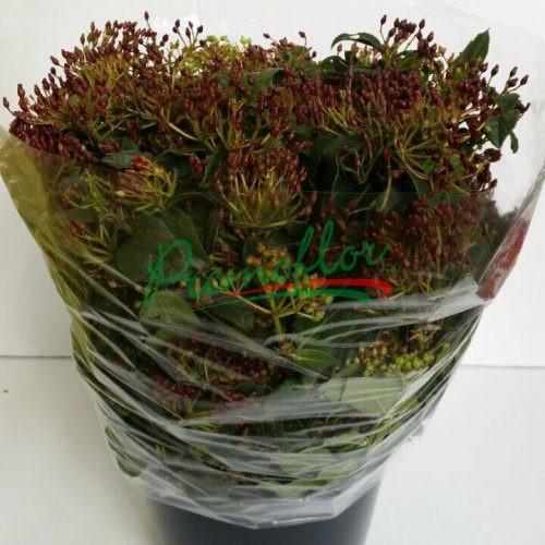 Viburnum Tinus (red)