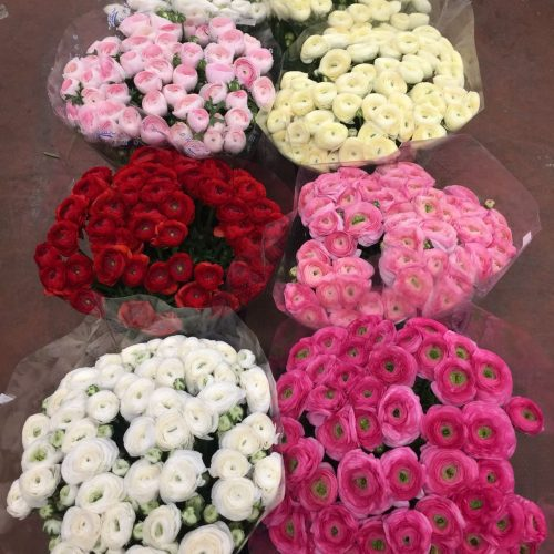 Ranunculus Cloni 'Success'