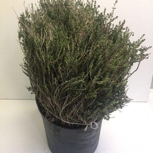 Thymus Calabria
