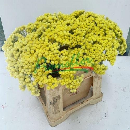 Helichrysum Preserved
