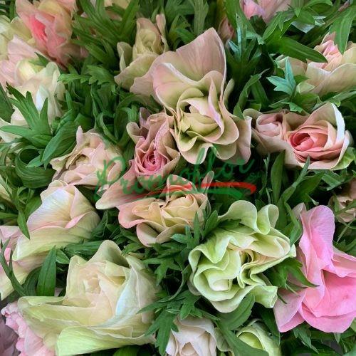Anemone Mistral White-Pink