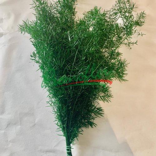 Asparagus Sprengeri Preserved