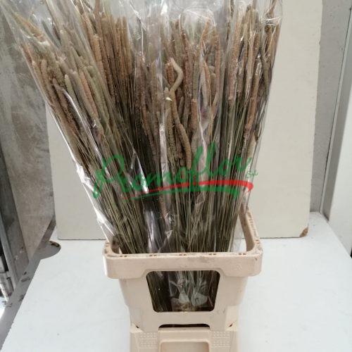 Dry Pleum Pratensis