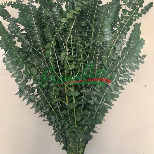 Eucalyptus Baby Blue Green Preserved