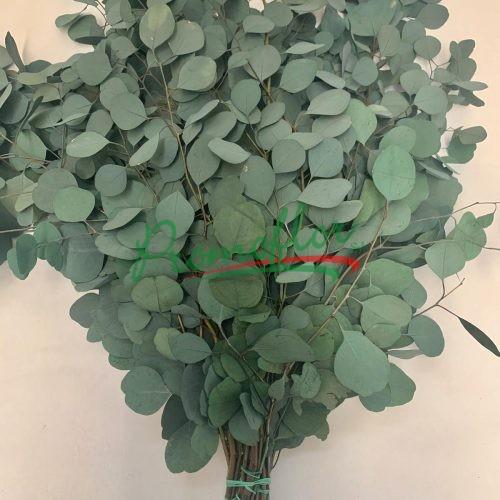 Eucalyptus Populifolia Green Preserved