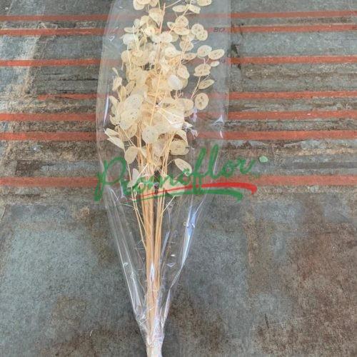 Lunaria Bleached