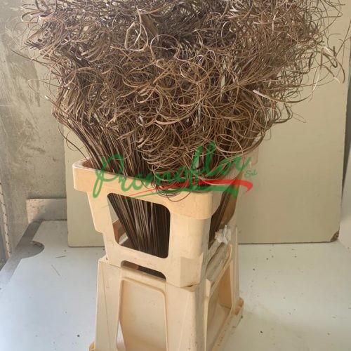 Dry Palm Ting Ting