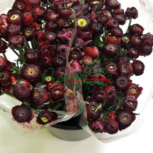 Ranunculus Elegance Noir