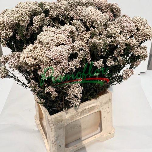 Rice Flower (Ozothamnus) Preserved Natural White