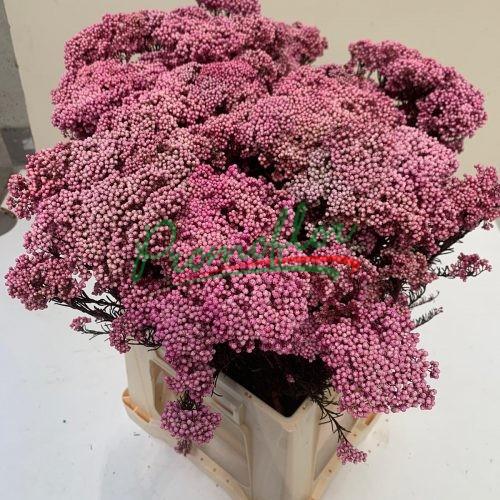 Rice Flower (Ozothamnus) Preserved Dark Pink