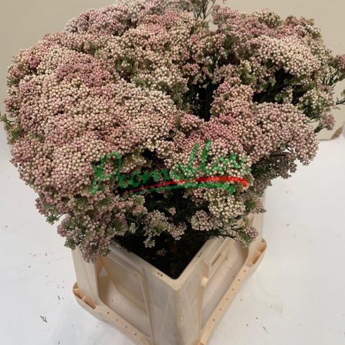 Rice Flower (Ozothamnus) Preserved Natural Pink