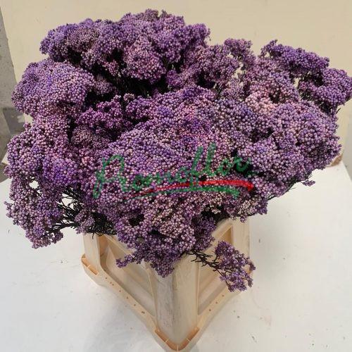 Rice Flower (Ozothamnus) Preserved Violet