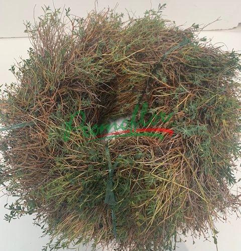 Euphorbia Spinosa Crown