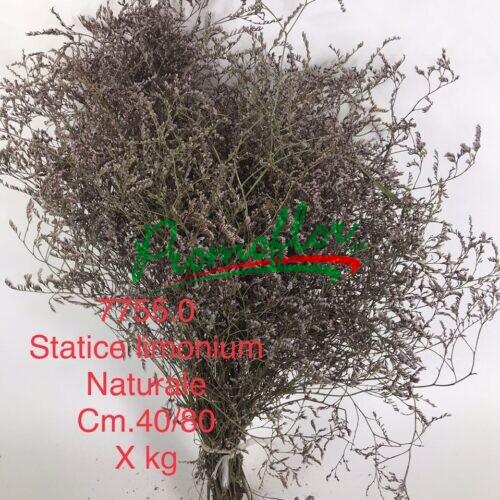 Limonium Natural
